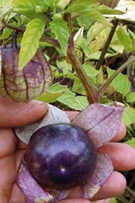 Tomatillo Purple Physalis ixocarpa