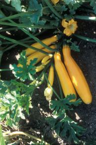 Zucchini<br>&quot;Gold Rush&quot;