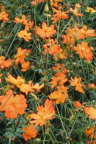 Cosmea, orange<br>Cosmos sulphureus