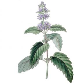Bartblume<br>&quot;Heavenly Blue&quot;<br>(Caryopteris)