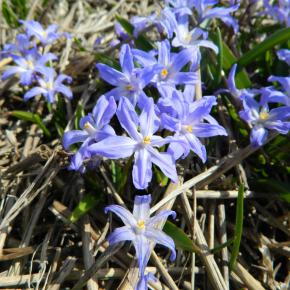 Sternhyazinthe<br> &quot;Blue Giant&quot;<br>(Chionodoxa forbesii)