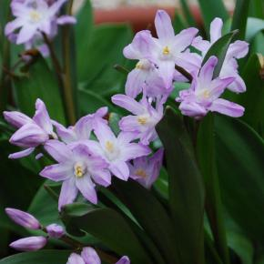 Sternhyazinthe<br>&quot;Pink Giant&quot;<br>(Chionodoxa forbesii)