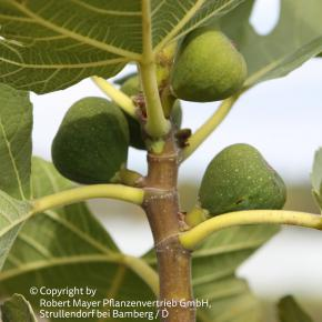 Feige<br>&quot;Desert King&quot;<br>(Ficus carica)