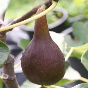 Feige<br>&quot;Nordland&quot;<br>(Ficus carica)