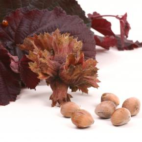 Haselnuss<br>&quot;Rote Zellernuss&quot;<br>(Corylus avellana)