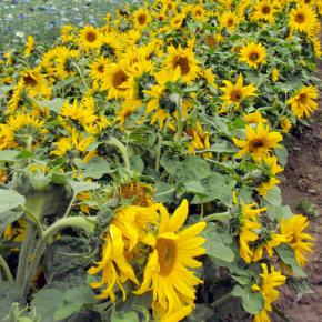 Helianthus annuus Sonnenblume Paccino