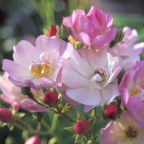 "Ramblerrose<br>""Apple Blossom"""