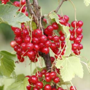 Rote Johannisbeere<br>&quot;Rolan&quot;<br>(Ribes rubrum)