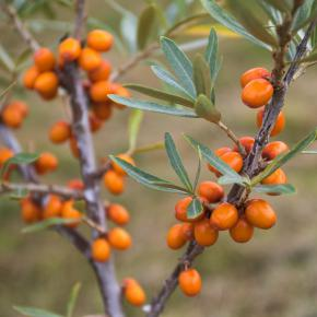 Sanddorn<br>&quot;Sirola&quot;<br>(Hippophae rhamnoides)