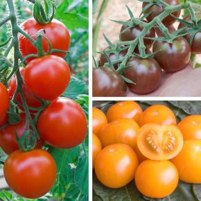 "Snack-Tomaten-Mix<br>""Black Cherry, Goldiana, Ruthje"""
