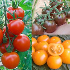 Snack-Tomaten-Mix, Black Cherry, Goldiana, Ruthje