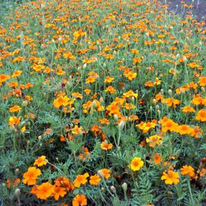Tagetes erecta Orange Sun