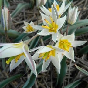 Wildtulpe<br>&quot;Turkestanica&quot;