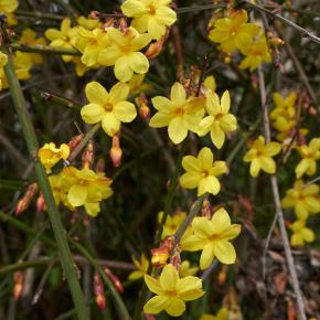 Winterjasmin<br>(Jasminum nudiflorum)