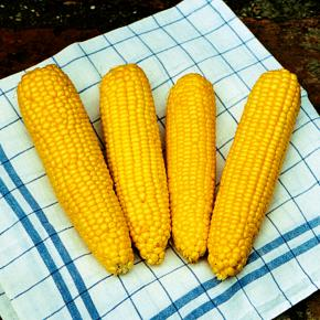Zuckermais True Gold Sweet Corn