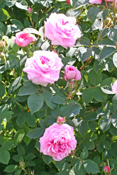 Jacques Cartier, Rose