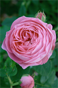 Louise Odier, Rose