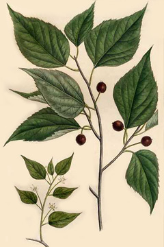Schwarze Lotusbeere, Celtis occidentalis